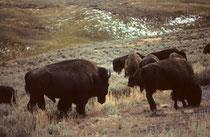 Heute gibt es wieder etwa 5000 Bisons im Park. Sie bewegten sich aus dem Tal auf die Strasse und zogen buchstäblich um uns herum weiter. Sie schienen so friedlich, dass wir keine Angst spürten. Erst nachher wurde uns klar, wie gross die Gefahr gewesen war