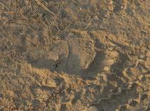 """Der Fussabdruck eines Lippenbären (Melursus ursinus). In der Tat sind wir auf unseren Safaris diesem Tier drei Mal begegnet. Die Spur weist auf die langen Krallen hin, welche dem Bären den englischen Namen """"Sloth Bear"""" also """"Faultierbär"""" eingetragen haben"""