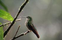 Kolibri (Art ?) im Hummingbird Garden beim La Paz Wasserfall.