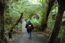 Der 1032 km2 grosse Great Otway National Park zieht sich als langgestreckter Landstreifen vom Cape Otway im Westen bis zu Angelsea im Osten. Der Park weist eine große Vielfalt von Landschaften und Ökosystemen auf. Hier sind wir in dichtem Regenwald.