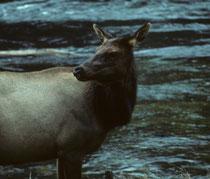 Kaum hatten wir den Eingang zum Yellowstone Nationalpark passiert, fanden wir uns Auge in Auge mit einer Wapitihihirschkuh (Cervus canadensis). Der Wapitibestand hat in den letzten Jahren stetig abgenommen, weil sie vermehrt von Grizzlies gejagt werden.