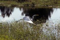 """Der Gelbe Schnabel und die schwarzen Beine weisen auf den Silberreiher (Ardea alba, engl. """"Great Egret""""). Die Art kommt auch in Europa vor. Effektiv ist der Silberreiher die Reiherart mit der grössten geographischen Verbreitung (Kosmopolit)."""