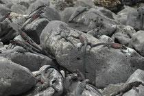 Die Grundfarbe der Meerechsen ist schwarz. Der Grund dafür ist, dass sich die Tiere nach ihren Tauchgängen im Meer schnell wieder erwärmen müssen, um erneut Nahrung suchen zu können. Sie fressen nämlich fast ausschliesslich marine Algen und Tange.