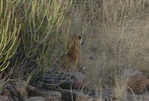 """""""Ladali"""" verschob sich dann, von uns aus gesehen, nach rechts und beobachtete das Gelände vor ihr aus der sicheren Deckung im hohen Gras, vermutlich als Vorbereitung für eine Jagd."""