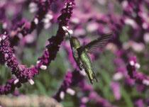 Der Anna Kolibri (Calypte anna), benannt nach Anna Masséna, Herzogin von Rivoli und Gattin eines Vogelkundlers des 19. Jahrh, Herzog Victor Massena, ist eine von drei ständig in den USA oder Kanada lebenden Kolibriarten. (Bestand ca. 1,5 Mio.)