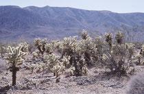 Cylindropuntia bigelovi eine Pflanzenart aus der Gattung Cylindropunti. Mit einer Wuchshöhe bis zu 2 Metern ist im Südwesten der USA und im Nordwesten von Mexiko in der Vegetation der Mojave und Sonora-Wüste in Höhenlagen von 300 bis 900 Metern verbreitet