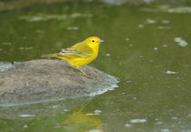 """Der kleine, insektenfressende Vogel ist ein Gold-Waldsänger, """"Yellow Warbler"""", (Setophaga petechia). Es gibt von ihm 12 Unterarten. Auf Galapagos lebt Setophaga p. aureola."""