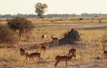 Landschaft in der Nähe unseres zweiten Nachtlagers im Moremi Game Reserve, mit einer schönen Impalagruppe und einem imposanten Termitenstock. Diese Wahrzeichen der afrikanischen Steppe haben immer die Farbe des Untergrundes (kupferrot, gelb oder grau).
