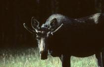 Wenn man bedenkt, dass es Leute gibt, die im Yellowstone NP nie einen Elch (Alces alces) gesehen haben - und wir schauten ihm direkt in die Augen... Der Elch hat eine Länge von bis zu 3 m, eine max. Schulterhöhe von 2,30 m; und wiegt bis 800 kg.