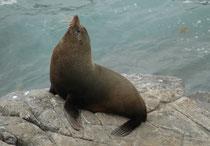 Kennzeichnend für den Neuseeländischen Seebären ist die relativ spitz zulaufende Schnauze. Daran lässt er sich relativ gut vom ebenfalls auf Cape du Coendic vorkommenden Australischen Seelöwen unterscheiden (s. Seal Bay in Galerie Australien II).