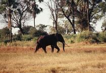 Immer wieder und unmittelbar befindet man sich in der Nähe von Elefanten. Es ist jedes Mal unglaublich, wie leise sich die riesigen, respekteinflössenden Tiere fortbewegen. Plötzlich sind sie da - um gleich darauf wieder lautlos im Gebüsch zu verschwinden