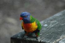 In Australien erstreckt sich das Verbreitungsgebiet des Allfarblori vom Westen nach Osten über die Kap York-Halbinsel bis nach Kangaroo Island im Süden. Es sind sehr anpassungsfähige Vögel, die in ganz unterschiedlichen Lebensräumen vorkommen.