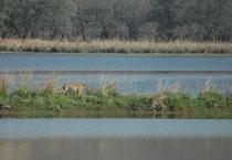 """5. April 2017. Morgenstimmung am Lotus Lake im Rathambore NP. Und da tritt sie aus den Schilfbüscheln hinaus auf die schmale Landbrücke: Die Tigerin """"Arrowhead"""", T84. In diesem Gebiet, nahe den Ruinen des Jagdhauses Rajbagh ist sie zu Hause."""