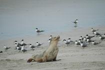 Die Kolonien der Australischen Seelöwen finden sich an der südlichen und südwestlichen Küste Australiens sowie auf den der Küste vorgelagerten Inseln. Die grösste Population lebt auf Kangaroo Island.