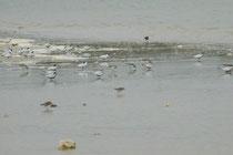 Der Coorong NP ist ein Feuchtgebiet von internationaler Bedeutung und beherbergt ca. 240 unterschiedliche Vogelarten, vor allem Watvögel (Art ?), hier vergesellschaftet mit Antipodenseeschwalben (Sterna vittata), auch Antarktische Seeschwalbe genannt (?)
