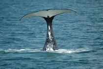 Auf unserem Schiff hatte es zwei Forscherinnen, welche die Fluken aller 18 Wale, die wir sahen, fotografierten und mit ihren Steckbriefen verglichen. Da das Whalewatching-Unternehmen diese Forschung unterstützt, dauerte unser Ausflug fast doppelt so lang.