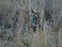 Wie immer in solchen Momenten, waren wir bald nicht mehr die einzigen Beobachter und es schien, dass die Störung durch die Fahrzeuge die Tigerin veranlasste, die Pirsch abzubrechen. Ihre angespannte Haltung löste sich und sie verliess das Grasdickicht.