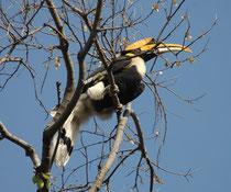 Er ernährt sich überwiegend von Fruchtfleisch (insbesondere Feigen), aber jagt auch aktiv nach kleinen Tieren. Auch er ist ein Höhlenbrüter: Das Weibchen verbringt bis zu vier Monaten in der zugemauerten Bruthöhle und wird vom Männchen mit Futter versorgt