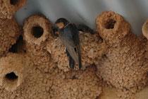 """Diese Glücksschwalbe, """"Welcome Swallow"""" (Hirudo neoxena) ist bei ihrem tassenförmigen Nest, das sich jedoch inmitten von Nestern der Fahlstirnschwalbe, """"Cliff Swallow"""" (Petrochelidon pyrrhonota) befindet, die in Australien gar nicht vorkommen soll…."""