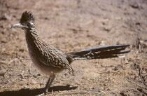 """Eines Morgens spazierte in der Tat ein Wegekuckuck (""""Roadrunner"""", [Geococcyx californianus]) um unser Zelt herum. Der überwiegend am Boden lebende opportunistische Allesfresser. Is, anders als viele Kuckucksvögel, kein obligater Brutschmarotzer,"""