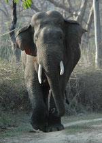 """Der Elefant beobachtete uns aufmerksam und plötzlich wendete er und trabte direkt auf uns zu, als würde er sagen """"Jetzt habe ich genug !"""". Da half nur noch den Rückwärtsgang einlegen und Vollgas bis zur nächsten Wegbiegung und aus dem Blickfeld des Tieres"""
