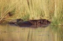 Auch zu den Flusspferden, die zu den gefährlichsten Tieren Afrikas zählen, hielten wir wohlweislich einen gebührenden Abstand. Dank optischer Hilfsmittel (Teleobjektiv) gelang dennoch eine Nahaufnahme.