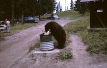 Die Bären drangen auch seelenruhig am heiterhellen Tag in die Campgrounds ein, um die Abfalleimer nach Fressbarem zu durchsuchen. Man beachte, dass sich die Camper im Hintergrund dadurch überhaupt nicht stören liessen (Jahr 1963).