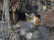 """Kurz darauf taucht ein weiteres Jungtier hinter einem Felsen auf. Es handelt sich um Nachkommen der 6-jährigen Tigerin """"Noor"""" (T39). Noor kennt man übrigens an zwei Y-förmigen Streifen am rechten und einer Y-förmigen Marke am linken Oberschenkel."""