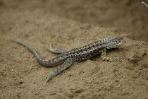 """Eine """"lava lizard"""" der Gattung Micropholus, die in Südamerika etwa 20 Arten umfasst. Davon sind 6 auf Galapagos endemisch (hier auf Floreana) und zeichnen sich durch unterschiedliche Grössen, Färbungen und Verhalten aus (= adaptive Radiation)."""