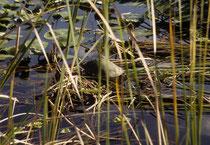 Dem aufmerksamen Beobachter offenbart sich auch eine kleinere Tierwelt. Hier vermutlich eine Gelbbauch-Schmuckschildkröte (Trachemys scripta scripta), auch Gelbwangen-Schmuckschildkröte genannt.