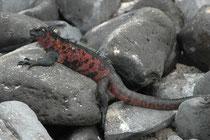 Neben grauen und schwarzen, gibt es auch farbige Meerechsen. In der Tat ändert sich die Färbung der Männchen mit den Jahreszeiten. Zur Fortpflanzungszeit sind sie auf den südlichen Galapagosinseln am farbigsten und werden auch rot (und grün).