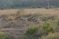 Auch der Corbett NP ist von ausgesprochener landschaftlicher Schönheit: Hügeliges, bewaldetes Gelände wird von breiten Flusstälern durchschnitten oder von savannenartigen Grasflächen mit lockerem Buschbestand (hier mit männlichen Axishirschen) abgelöst.