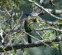 Der Heulbartvogel (Megalaima virens), die grösste Bartvogelart, bewohnt die Vorgebirge des Himalayas und ernährt sich in dichtem Laub von Insekten und Früchten. Den Namen haben die farbenprächtigen Höhlenbrüter von den Borsten am Schnabelgrund.