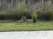 """Relativ kurze Zeit, nachdem """"Arrowhead"""" Auge in Auge an uns vorbeigezogen war, entdeckten wir, ebenfalls in der Nähe der Ruinen des Jagdhauses Rajbagh, einen ruhenden, grossen männlichen Tiger. Er kann über 3m lang  und bis zu 300 kg schwer werden."""