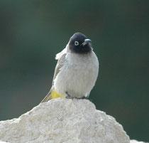 Auch in Dana sahen wir den Gelbsteissbülbül (Pycnonotus xanthopygos). Sein Verbreitungsgebiet zieht sich von der südlichen Türkei bis in die arabischen Länder und Israel. Alle Bülbüls sind Standvögel u.a. auch in der Nähe von menschlichen Siedlungen.