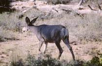 Die Wälder und Wiesen des Bryce Canyon NPs beherbergen über 175 Vogel- und ca. 60 Säugetierarten. Das grösste dauerhaft im Park lebende Säugetier ist der rund 1 m hohe und 2 m lange Maultierhirsch (Odocoileus hermionus).