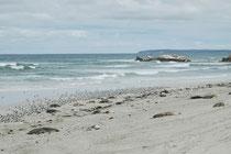 """Australische Seelöwen leben in Kolonien ausschliesslich an sandigen Stränden, hier zusammen mit einer grossen Ansammlung von Eilseeschwalben, """"Crested Tern"""" (Sterna bergii), auf Kangaroo Island vertreten durch die Unterart Cresta b. cristata."""