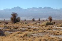Auf der Fahrt von San Pedro de Atacama zur Salar de Atacama. Die Tiere im Vordergrund sind  Lamas, also Haustiere. Ihre wilde Ahnform ist das bereits erwähnte Guanako (Lama guanicoe)