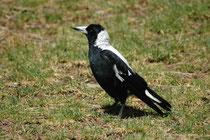 """Ein Flötenvogel (Gymnorhina tibicen), der auf Englisch """"White backed Australian Magpie"""" genannt wird. Er ist in Australien und Tasmanien beheimatet (hier in Adelaide). Seinen Namen hat er wegen seines Rufes, der an eine Flötenmelodie erinnert."""