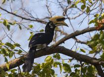 Der ca. 60 cm lange Orienthornvogel (Anthracoceros albirostris), ein Nashornvogel, frisst überwiegend Früchte und kommt in Indien entlang der Vorgebirge des Himalayas vor. Er nistet in natürlichen Baumhöhlen. Bild: Peter Vonwil (meine Kamera streikte).