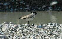 Flusskiebitz (Vanellus duvaucelii) am Ufer des Flusses Kosi. Seine Artbezeichnung ehrt den französischen Naturforscher Alfred Duvaucel. Die Art ist effektiv meist in Flussnähe zu finden, insbesondere auf Sandbänken und auf Kiesbänken.