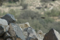 Der Grauortolan, der hier wie ein Pfeil von einem Felsausguck zum nächsten schiesst, liebt steinige Abhänge mit vereinzelten Büschen und Bäumen (wie in Dana) und Halbwüsten. Er überwintert südlich des Roten Meeres und brütet in SE-europa und Vorderasien.