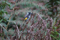 "Der flinke, sehr aktive Weissaugen Honigfresser, ""New Holland Honeyeater"" (Phylidonyris novaehollandiae) lebt in Südaustralien und Tasmanien. Neben Nektar frisst er auch Früchte, Spinnen und andere kleine Wirbellose.. (Warrawong Wildlife Sanctuary)"