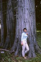 Küstenmammutbäume werden hunderte von Jahren alt (nachgewiesenes Maximum: 2200 Jahre) und können einen Stammdurchmesser von über 7 m erreichen. Das lässt sich besonders gut veranschaulichen, wenn man sich davor stellt. (Bilder aus dem Jahre 1966)