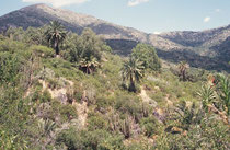 Die Honigpalme, eine fiederblättriger, getrenntgeschlechtiger Baum mit einem massiven grauen Stamm (bis zu 1,5 m Durchmesser und 30 m Höhe) verdankt ihren Namen dem zuckerhaltigen Saft, aus dem man Palmzucker, Palmhonig und auch Palmhonigwein herstellt.