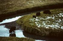 1883, also mehr als zehn Jahren nach der Gründung des Parks wurde der Bestand der Bisons auf etwa 200 Tiere (letzte wild lebende Bisons !) geschätzt 1896 bis 1902 gab es nur noch etwa 20 – 50 Tiere. Bis 1920 erholte sich die Population auf rund 500 Tiere.