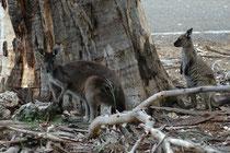 Hier befinden wir uns bereits im Visitor Center des Flinders Chase Nationalparks auf der mit 4405 km2  Fläche drittgrössten Insel Australiens, Kangaroo Island. Auf dem Bild zwei Westliche Graue Riesenkängurus (Macropus fuliginosus), [spezielle Unterart].