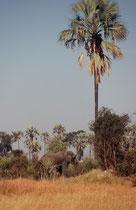 Immer wieder hörte man ein Rauschen in den Palmkronen und sah dann, dass ein Elefant die ganze Palme schüttelte, damit die Früchte herunterfielen. Die Samen der Früchte werden dann mit dem Elefantenkot, also gut gedüngt, im ganzen Delta verbreitet.