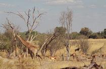 Andere Huftiere, wie hier Sassaby, Impala und Gnu, vergesellschaften sich gerne mit Giraffen, denn dieses höchste Säugetier, welches bis 6 m gross werden kann, sieht weit über die Umgebung und kann bei Gefahr frühzeitig warnen oder die Flucht ergreifen.