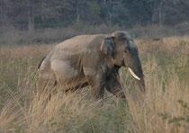 """Erwachsene Elefantenbullen leben oft als Einzelgänger. Um ihre tägliche Portion von ca. 150 kg Nahrung zu sammeln, müssen sie oft grössere Strecken zurücklegen. Auch dieses Tier trug schöne Stosszähne (=""""Tusker""""), war aber mit Bestimmtheit nicht in Musth."""